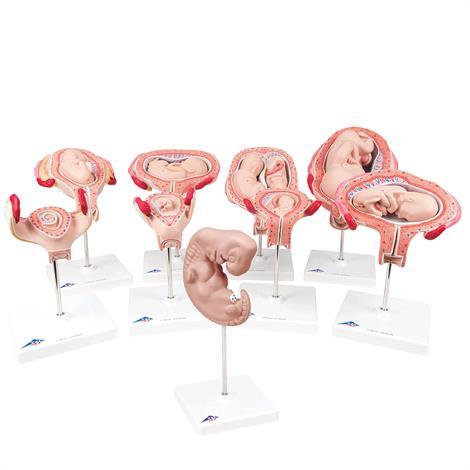 A3BS Delux Pregnancy nine Series Model,9 Models,Each,L11