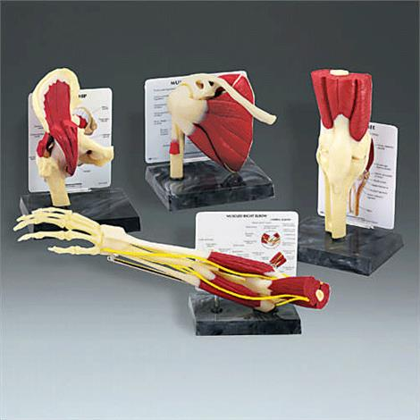 Anatomical Model of Life Size Muscled Joint Set,Muscled Joint Set,Each,GP4
