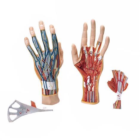 "A3BS Three Part Internal Hand Structure Model,11.2"" x 5.1"" x 2.6"",Each,M18"
