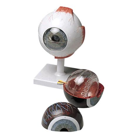 Anatomical Human Eye Model,Size: 7 x 4 x 4,Each,JS6513