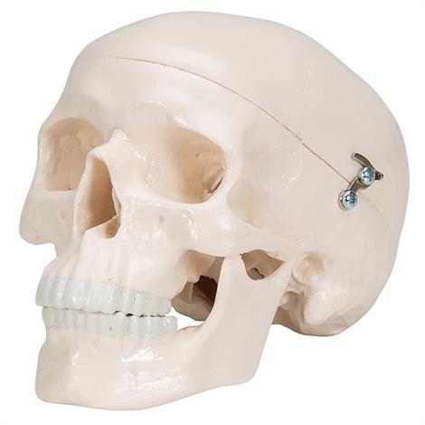 A3BS Classic Three part Human Skull Model,Three Part Skull,Each,A20