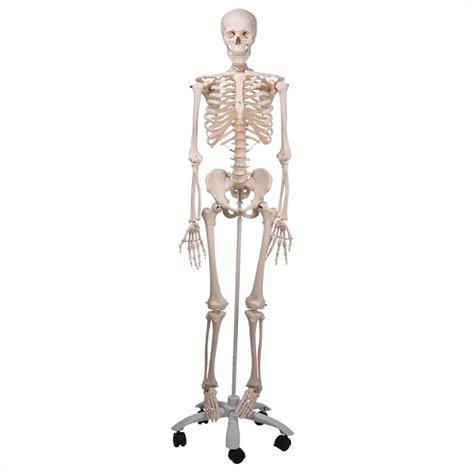 A3BS Standard anatomical Human skeleton Model,Stan-Standard Skeleton,Each,A10