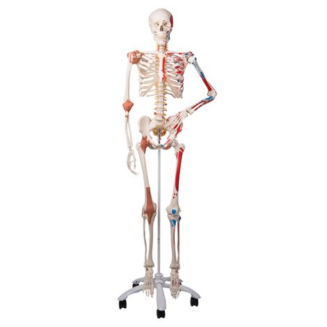 A3BS Sam the Super Human Skeleton Model,Super Skeleton Model,Each,A13