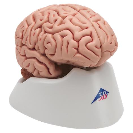 A3BS Five part Classic Brain,5 Part Model,Each,C18