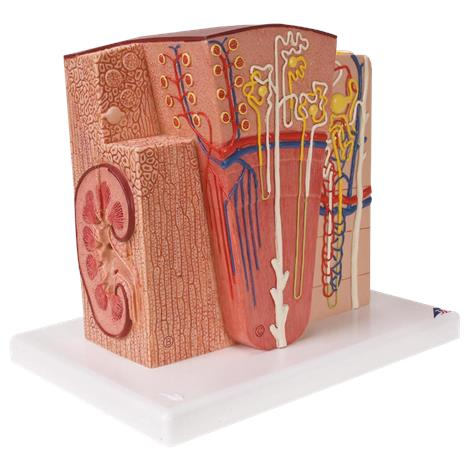 A3BS Microanatomy Kidney Model,9.3 x 10.0 x 7.5,Each,K13